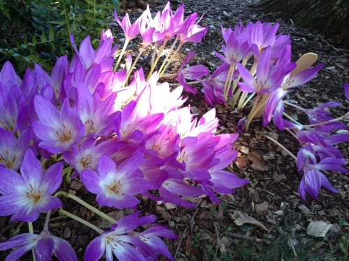 Gorgeous fall crocus blooms have appeared on the Swarthmore College campus. (Photo courtesy of D. Patrick Welsh's own Barbara Bechtold)