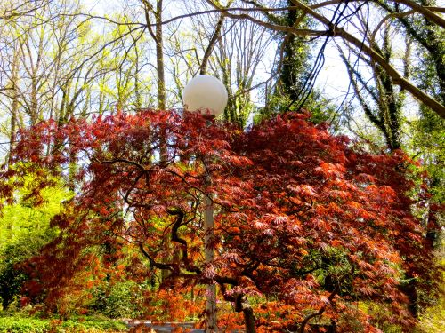 This is just one of the gorgeous Japanese maples on this beautiful property!