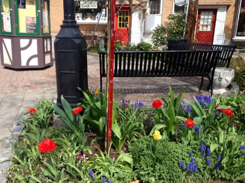 A glorious riot of colorful flowers erupted in Centennial Park and in the barrels along the shopping district!
