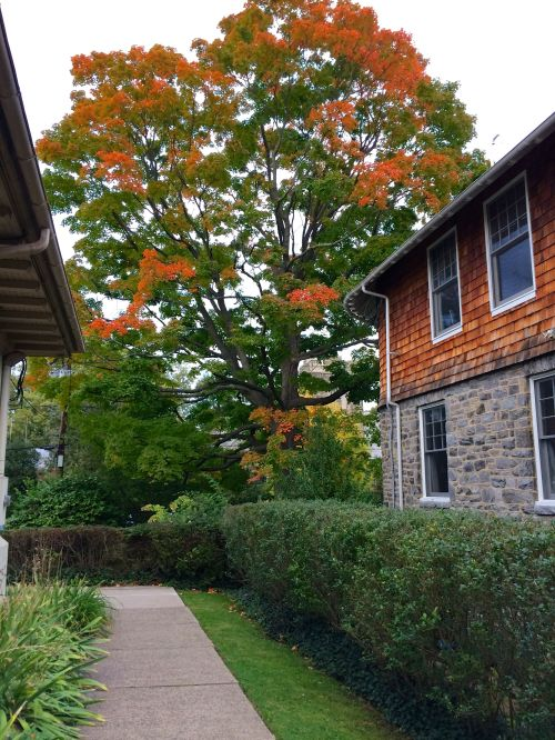 This is my family's favorite tree to watch during fall! We see it as we walk through the alleyway between Thatcher Park (the tot lot) and Swarthmore Ballet Theatre.