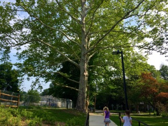 The magnificent oak greets the children walking to Swarthmore-Rutledge Elementary School